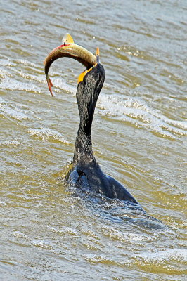 """Double Crested Cormorant With Fish"" by Rex Termain"