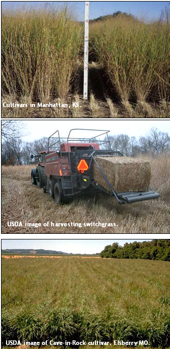 Switchgrass photo collection